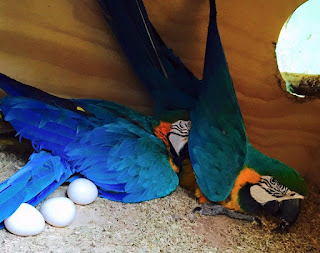 Blue and gold macaws egg