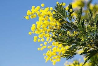Gambar Bunga Akasia yang Indah 7