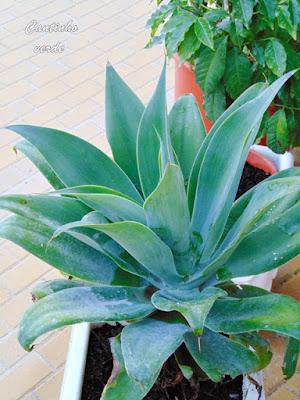 Cultivo da Agave Dragão - Agave attenuata