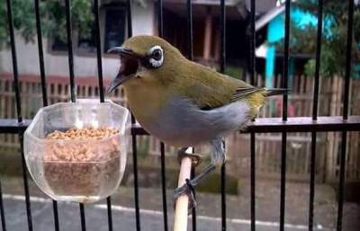 racikan pakan burung pleci agar gacor dan buka paruh