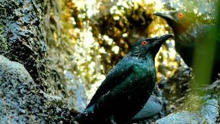 Mengenal burung cucak keling yang cerdas dan unik