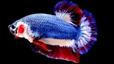 5 Jenis Ikan Cupang Hias Termahal di Dunia