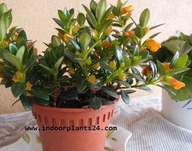Nematanthus GOLDFISH PLANT COLUMNEA X BANKSII PLANT IMAGE