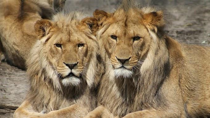Los tres leones que se escaparon en Camagüey se encuentran a salvo y fuera de peligro