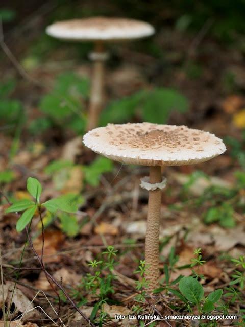czubajka kania, grzyby, las, grzybobranie, jaki to grzyb, atlas grzybow, grzyby gatunkami