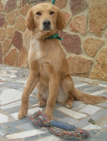 perro golden de 1 año de edad