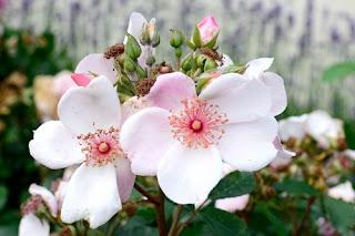 Bunga Pir Calleryana