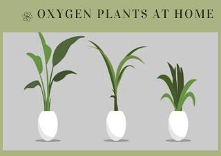 Green Oxygen plants in pot