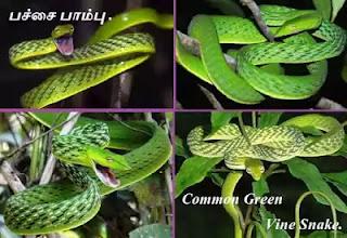 Pachai Pambu - Common Green Vine Snake.