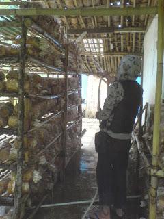 budidaya jamur konsumsi: merang, kuping, eryngi, shitake, enokitake,
