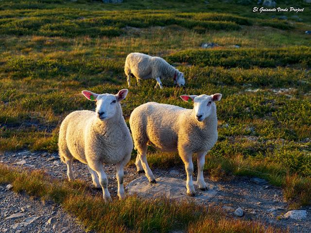 Ovejas en Tuva - Noruega, por El Guisante Verde Project