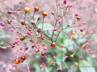 Foto-dos-frutinhos-de-varias-tonalidades-junto-aos-botoes-florais-rosados-do-beldroegao