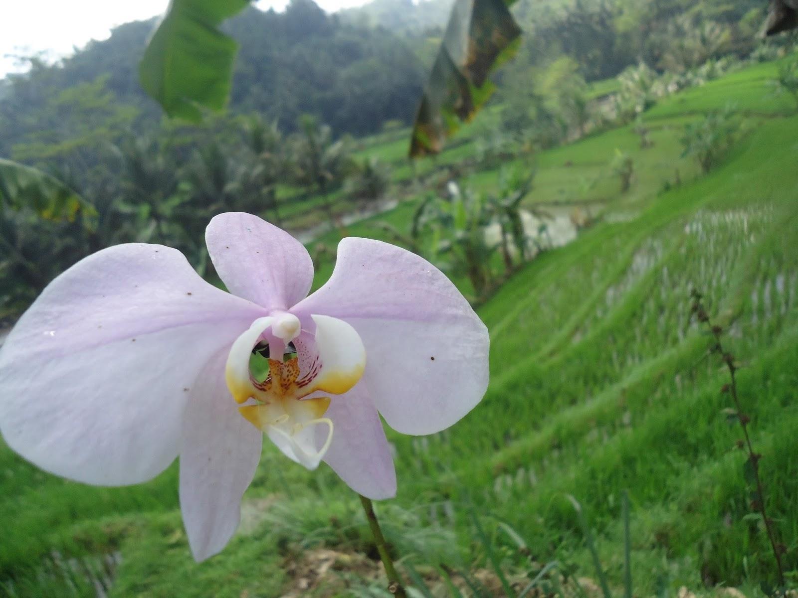 Wallpaper Bunga  Anggrek  Bulan Putih  Ungu Dan Lautan Hijau