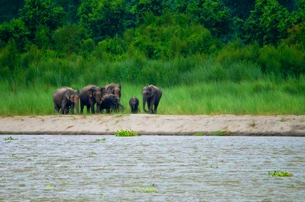 A herd of Elephants at Kaziranga National Park (photo - Nassif Ahmed)