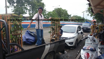 Jual bibit Durian Musang King Bpk Faisal 082.137.433.114