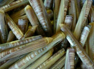 Adalah jenis kerang yang berbentuk mirip bambu, berbentuk lonjong. Bisa juga disebut seperti kacang panjang. Namun kandungan gizi dalam kerang ini sangatlah banyak. Kerang bambu biasanya pengiriman dalam bentuk frezer dan tetap awet dalamm seminggu