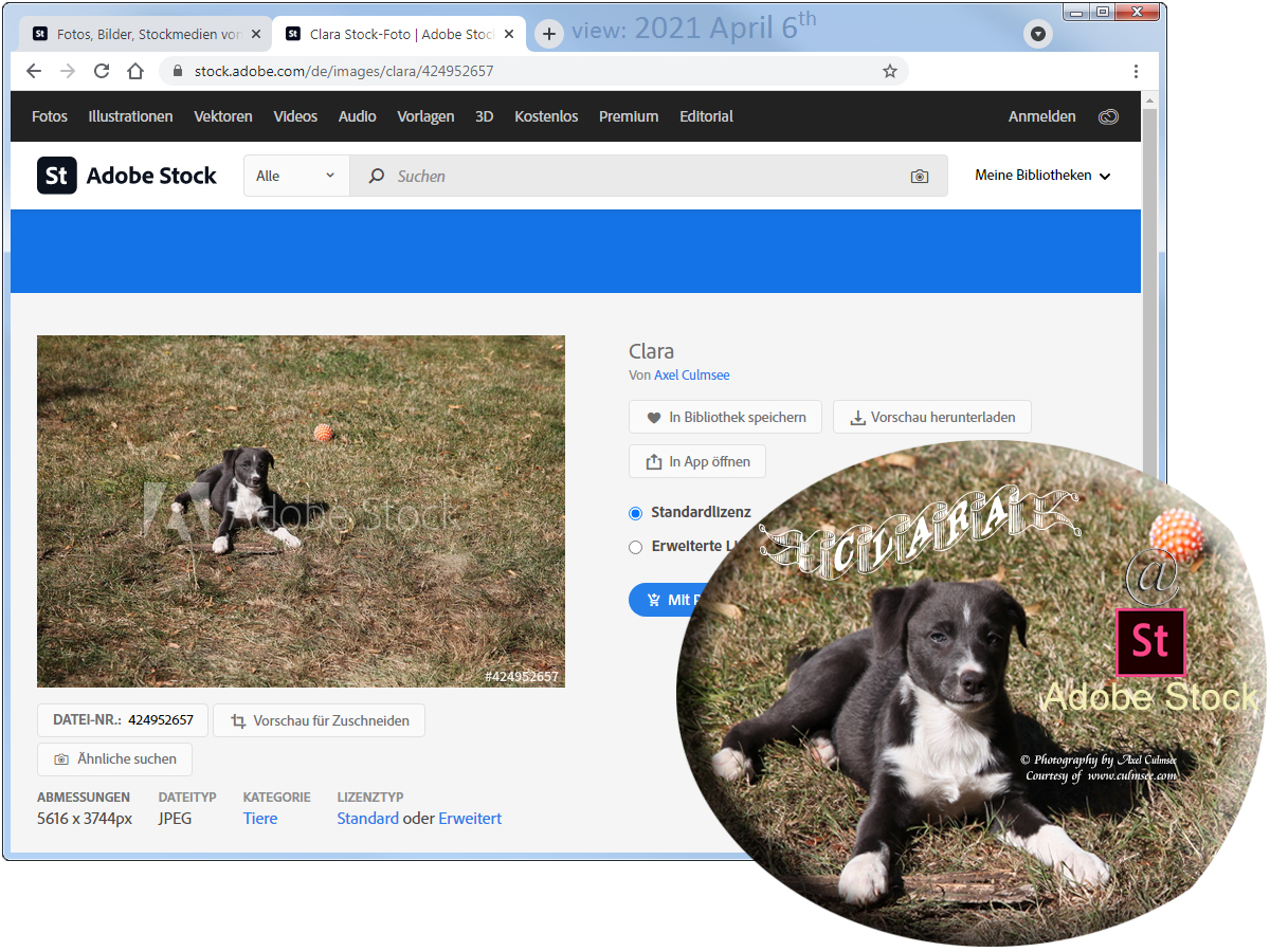 Clara Aussiedor (10 weeks) at Adobe Stock available via searching for Australian Shepherd hybrid (with detail / cut)