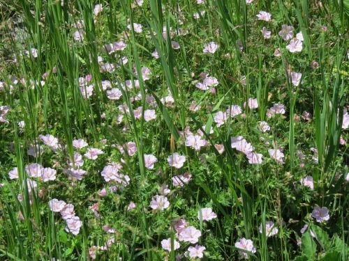 pink bush geranium
