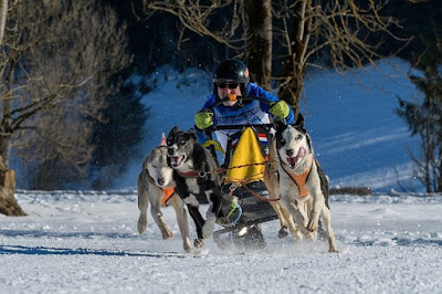 Three sled dogs are pulling a racing sled across the snow.