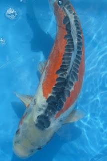 Ikan Koi jenis Shusui adalah ikan koi yang sering dicari oleh para pecinta ikan koi.