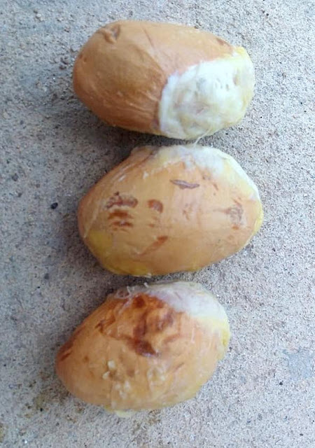 5 seeds Durian fresh seed this season 2019 king of fruits