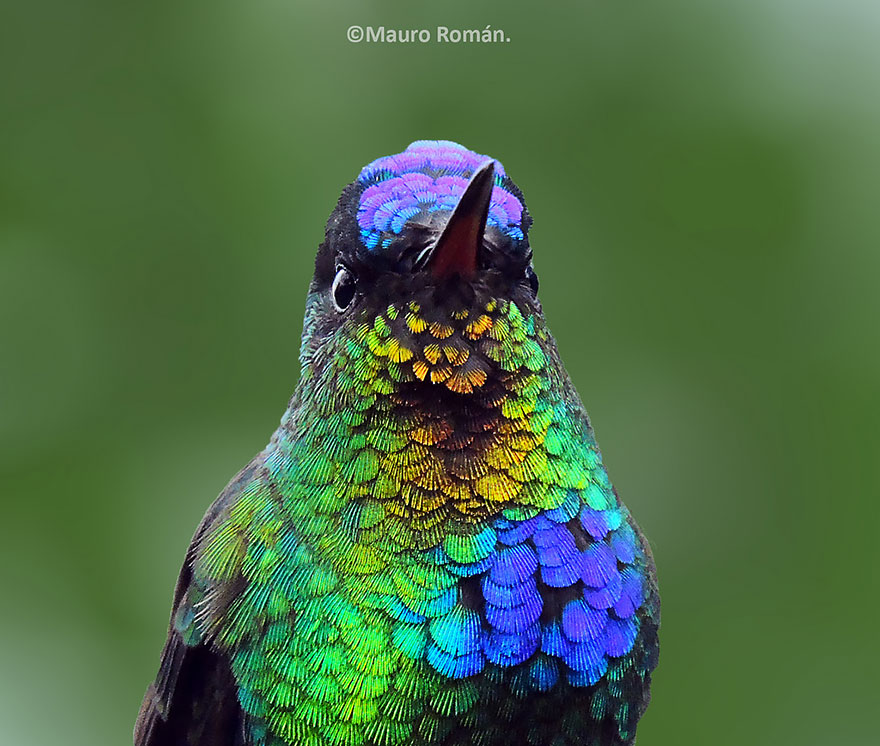 Fiery-Throated Hummingbird-3