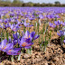 Bunga Saffron, Rempah Termahal di Dunia yang Belum Banyak Orang Tau!