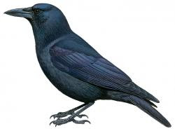 Corvus kubaryi