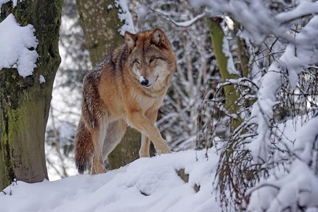 wolves ,  US Yellowstone National Park , and rivers. Mushrooms, ducks, and fish appeared in remote areas,