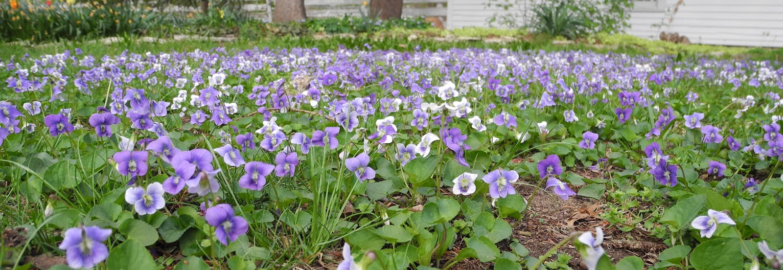 The Phytophactor Violet Lawn