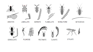 do all insects have antennae