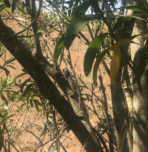 Camaleão na Quinta do Marim, Olhão