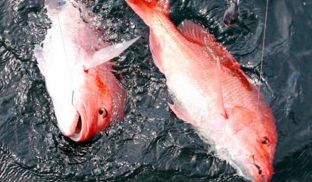 double strike kakap merah
