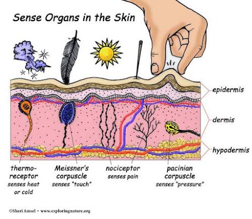 Macam-macam reseptor pada kulit