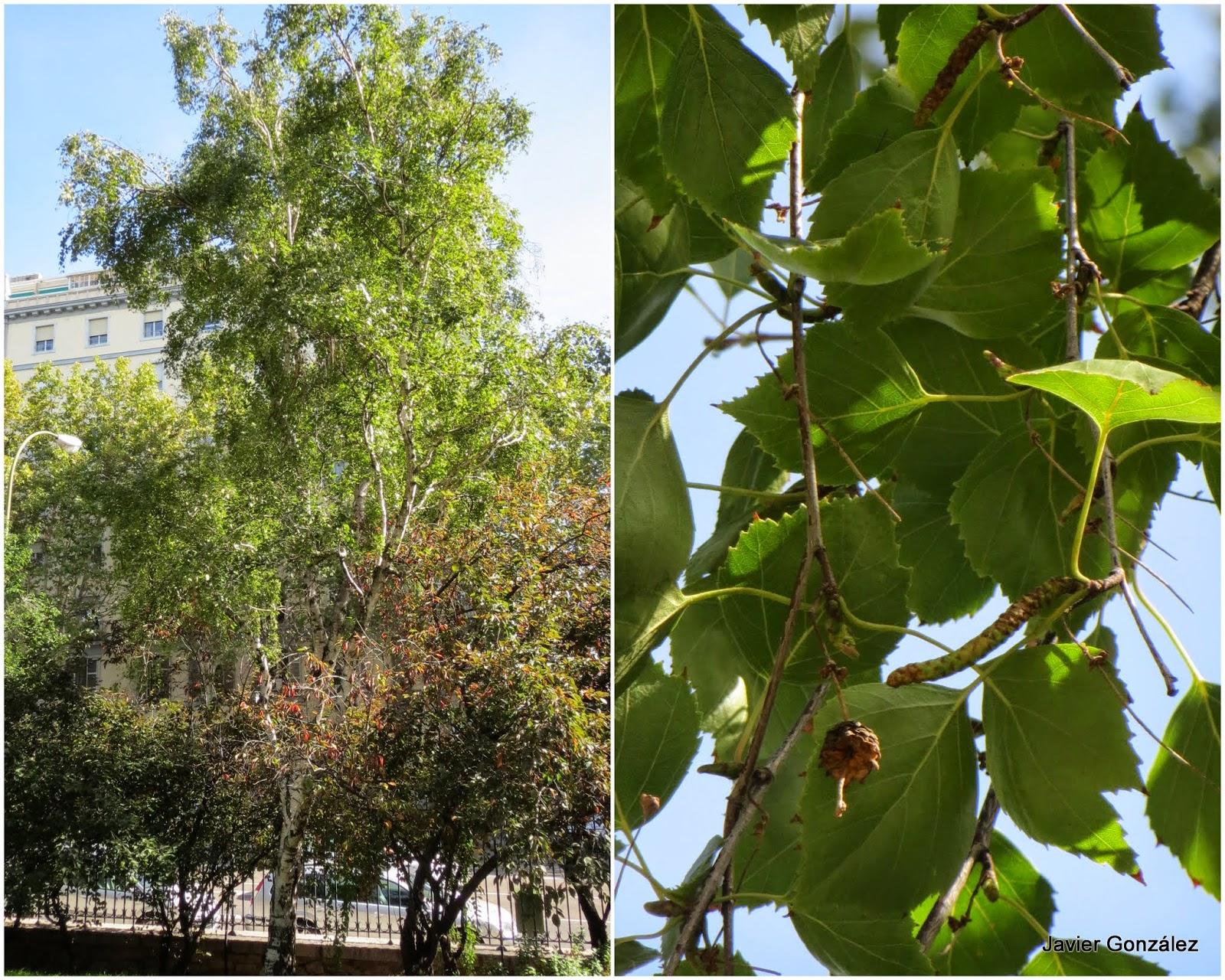 Parque del Retiro. Abedul / Birch