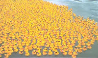 marea de patitos