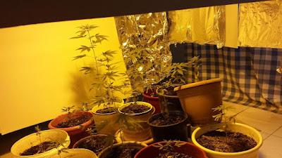 Συνελήφθη 28χρονος στη Βέροια για καλλιέργεια κάνναβης