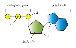 جزيء ATP