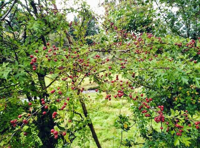 lots of red hawthorn berries