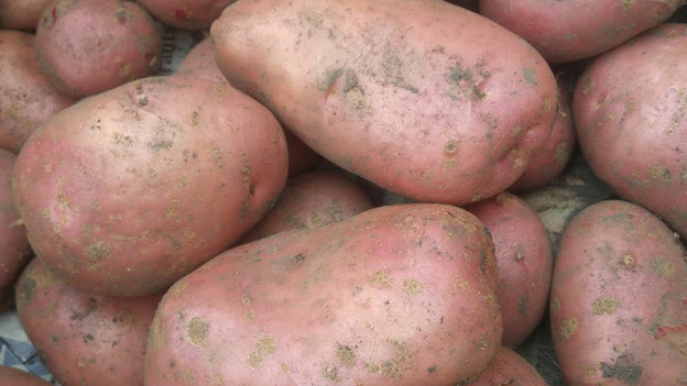 Desiree potatoes harvested August 2020