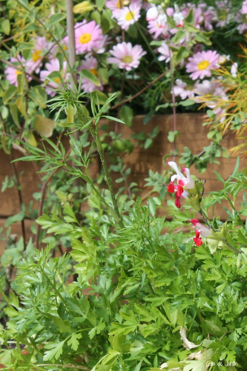 Salvia microphylla Hotlips y perejil, floreando y con pulgón :-)