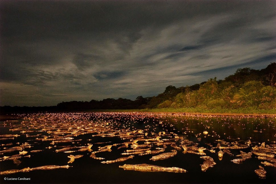 Finalists Of The 2014 Wildlife Photographer Of The Year Competition Caiman Night by Luciano Candisani photography