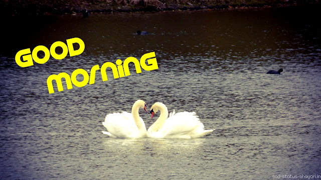 Good morning image swan