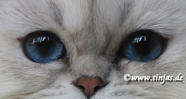 Britisch Langhaar  blaue Augen