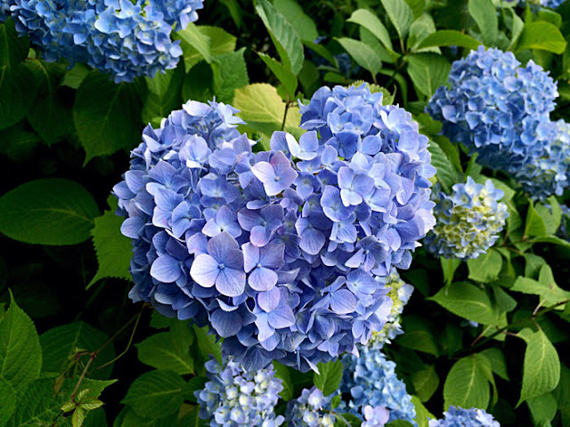 智積院の紫陽花