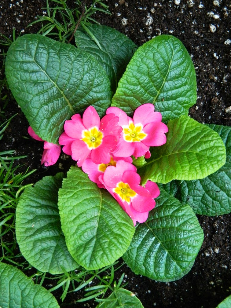 Primula acaulis pink primrose Allan Gardens Conservatory 2015 Spring Flower Show by garden muses-not another Toronto gardening blog