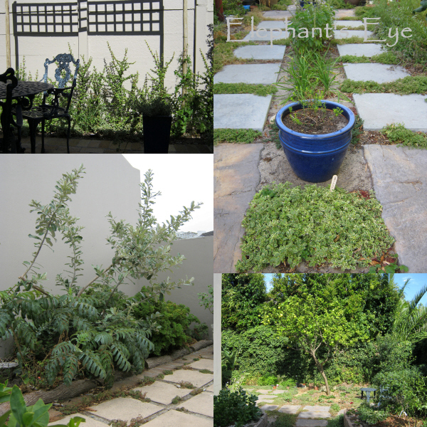 Spekboom hedge, herb garden Coastal oak, lemon tree