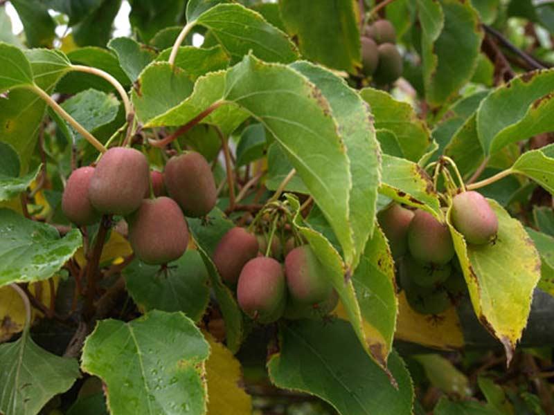Hardy kiwi (Actinidia arguta) fruit images