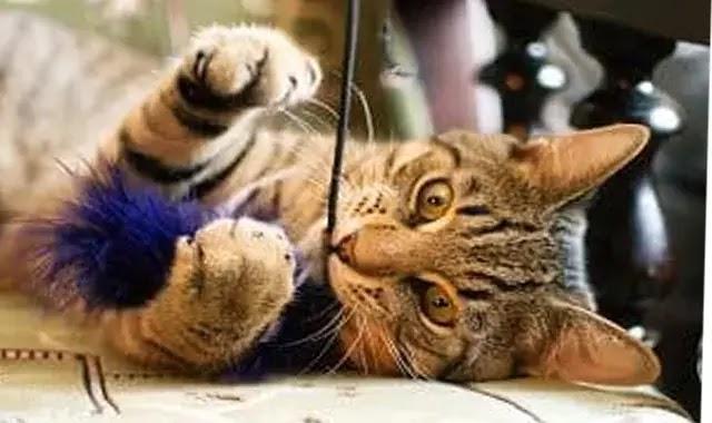 16 jouets avec lesquels votre chat tigré jouera réellement!