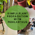 Easy To Do Plant Propagation: Pedilanthus a popular landscaping plant.